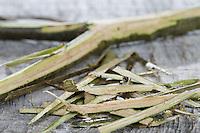 Eichen-Rinde, Eichenrinde, Rinde wird mit Messer abgeschält, getrocknet und zu Heilzwecken genutzt, Borke, Stiel-Eiche, Stieleiche, Eiche, Quercus robur, English Oak, bark, rind