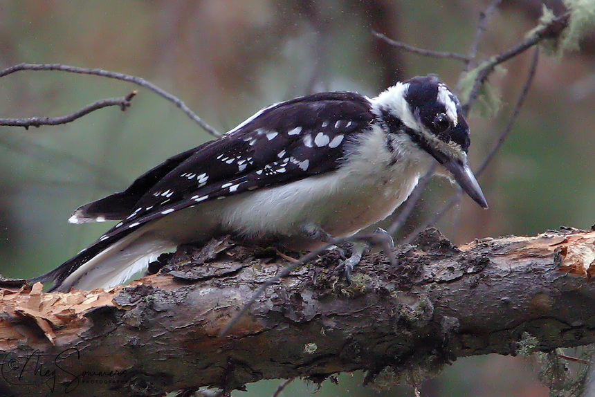 The Downy Woodpecker (Picoides pubescens) is a species of woodpecker, the smallest in North America. The Downy Woodpecker is virtually identical in plumage pattern to the much larger Hairy Woodpecker, but it can be distinguished from the Hairy by the presence of black spots on its white tail feathers.