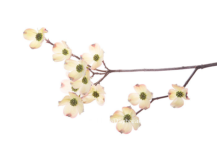 30008-00103 Flowering Dogwood (Cornus florida) branch on white background, Marion Co., IL