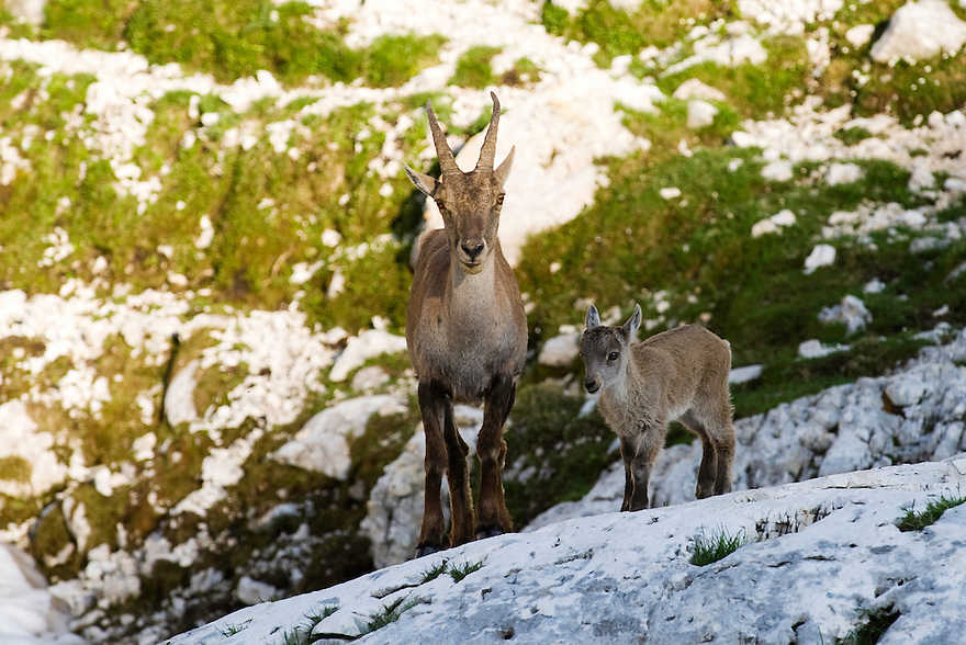 Ibex (Capra ibex), female with young<br /> Julian Alps<br /> Triglav National Park, Slovenia<br /> July 2009
