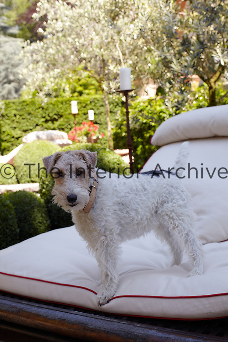 A fox terrier poses on one of the sun loungers in the garden