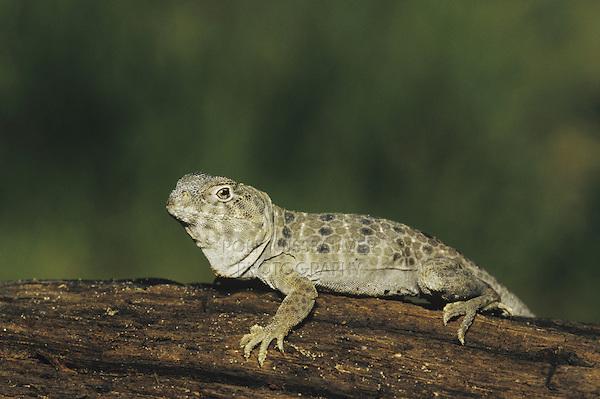 Reticulate Collared Lizard (Crotaphytus reticulatus), adult sunning, Starr County, Rio Grande Valley, Texas, USA