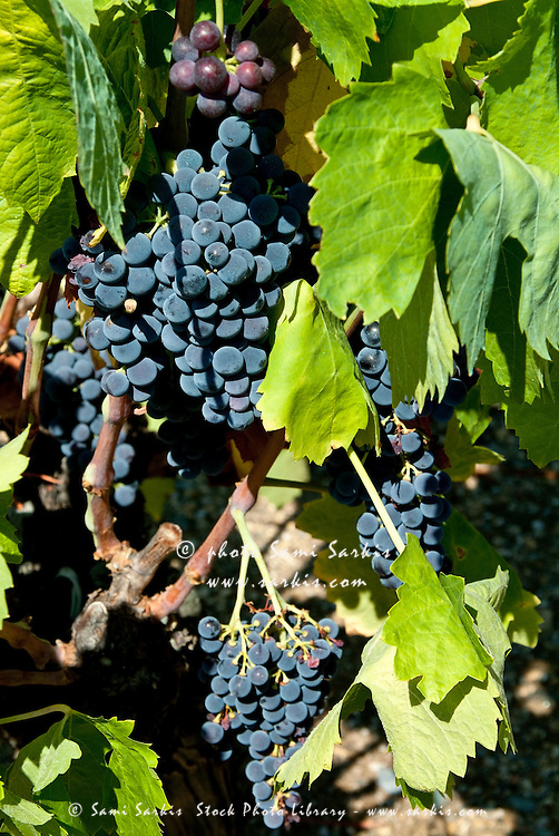Bunch of black grapes growing on a vine, Gorges d'Héric, Herault, France.