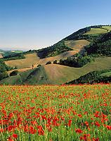 ITA, Italien, Marken, Landschaft mit Mohnfeld bei Urbino | ITA, Italy, Marche, landscape near Urbino