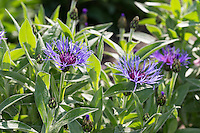 Berg-Flockenblume, Bergflockenblume, Centaurea montana, Perennial cornflower, mountain cornflower, bachelor's button, montane knapweed, mountain bluet, Mountain Bluets