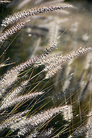 Fountain grass 'Hameln' (Pennisetum 'Hameln')