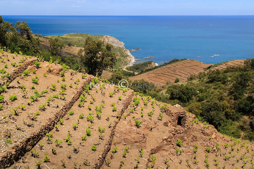 France, Pyrénées-Orientales (66), Banyuls-sur-Mer, vignoble AOC de Banyuls