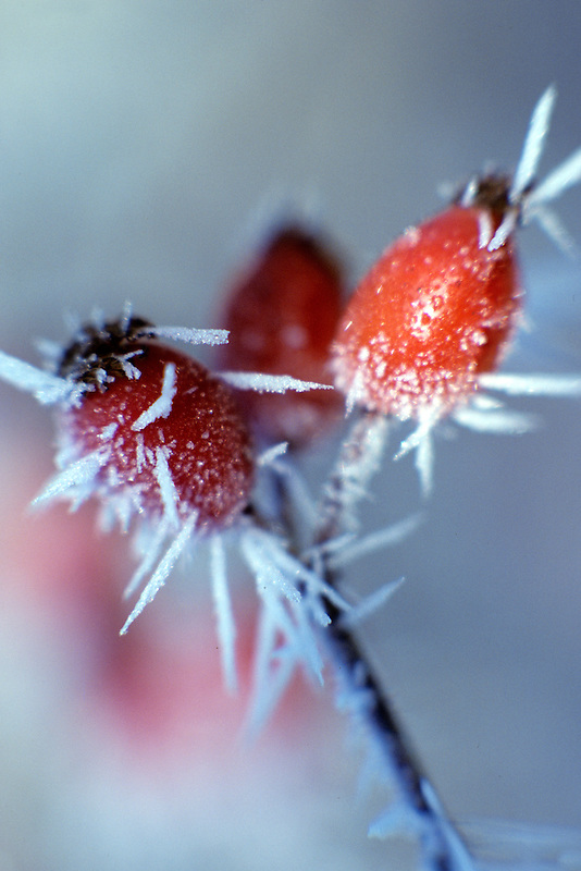 Wild rose hips with hoarfrost. Near Elmira, Oregon.