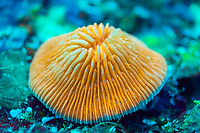 mushroom coral, Fungia fungites, fluorescent, shot under ultraviolet light, Nggela Islands, or Florida Islands, Solomon Islands, Pacific Ocean