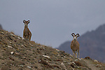 Argali (Ovis ammon) sub-adult and female, Sarychat-Ertash Strict Nature Reserve, Tien Shan Mountains, eastern Kyrgyzstan