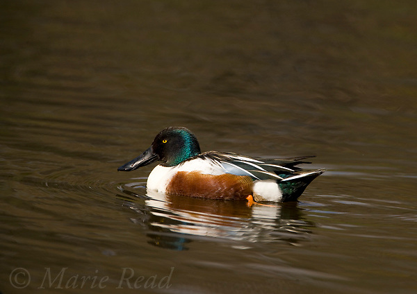 Northern Shoveler (Anas clypeata), male in breeding plumage, Huntington Beach, California, USA