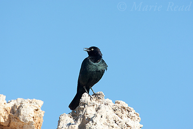 Brewer's Blackbird (Euphagus cyanocephalus), male perched on tufa tower calling, Mono Lake, California,USA<br /> (Digitally retouched - eye)