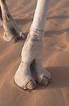 Pied de dromadaire dans les dunes de l'Amatlich. Le dromadaire, animal du désert, est la monture privilégié des Hommes dans les zones désertiques. Mauritanie. Afrique. Dromedary foot in the dunes of the Amatlich. Mauritania. Africa.