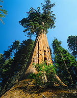 Giant Sequoia tree Sequoia National Park California.