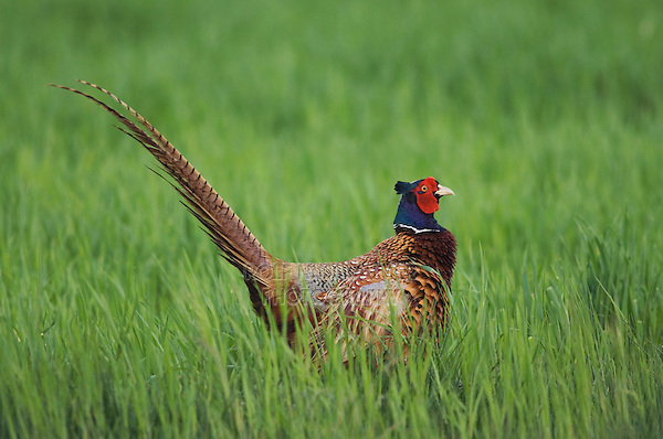 Ring-necked Pheasant, Phasianus colchicus,male, National Park Lake Neusiedl, Burgenland, Austria, Europe