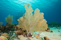 Common Sea Fan, Gorgonia ventalina, a Gorgonian, Bonaire, Netherland Antilles, Netherlands, Caribbean Sea, Atlantic Ocean