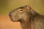Capybara (Hydrochoerus hydrochaeris) female, Ibera Provincial Reserve, Ibera Wetlands, Argentina