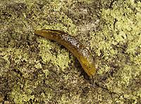 Yellow Slug - Limax flavus