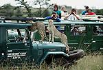 A pair of cheetahs are ready for their close-ups, Masai Mara National Reserve, Kenya
