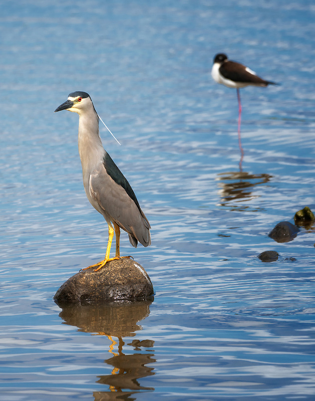Black Crown Nigh Heron Hawaiin Stilt. Kealia Pond National wildlife Refuge. Maui, Hawaii