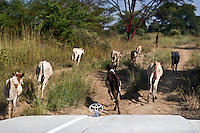 A young herd of cattle run in front of a Toyota jeep on the road between Bentiu to Nyal..