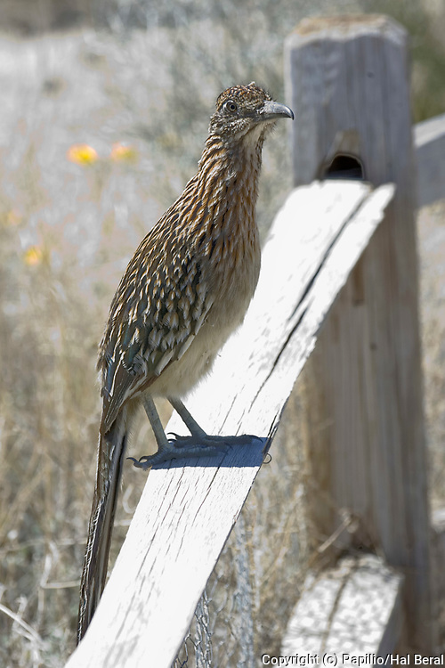 Greater Roadrunner perched on fence.(Geococcyx californianus).Mojave Desert, California