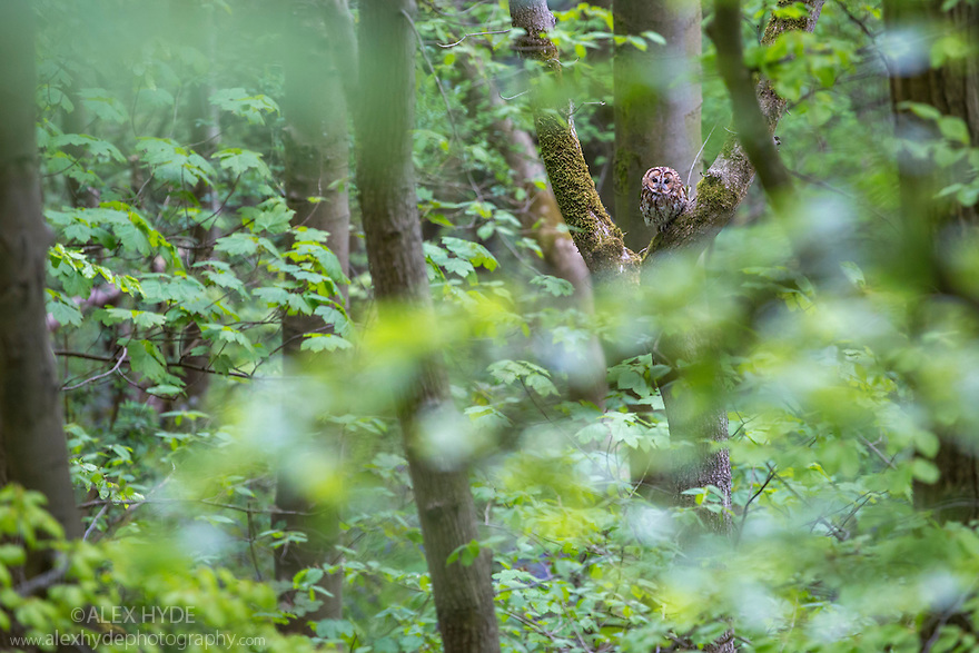Tawny Owl {Strix aluco} in deciduous woodland canopy. Peak District National Park, Derbyshire, UK. May.