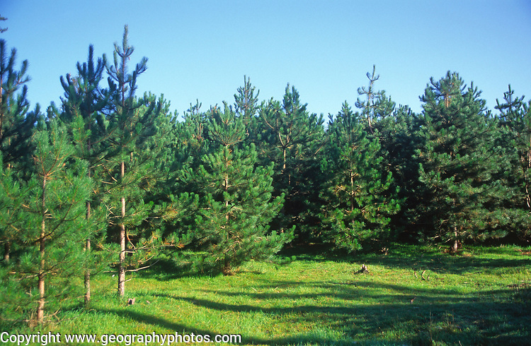 A07WWE Conifer trees Suffolk Sandlings England