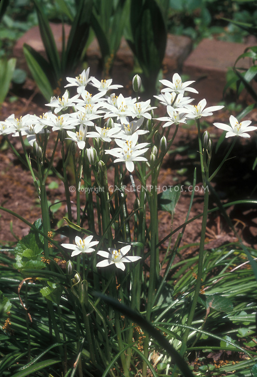 Allium neapolitanum aka A. cowanii, Naples Garlic, Daffodil Garlic, False Garlic, Flowering Onion, Naples Onion, Guernsey Star-of-Bethlehem, Neapolitan Garlic