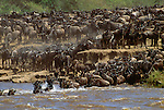 Wildebeest herd fording the Mara River, Maasai Mara National Reserve, Kenya