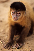 North-east Brazil. Capuchin monkey.