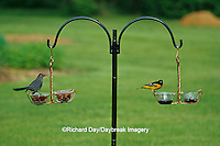 00585-03008 Gray Catbird (Dumetella carolinensis)  & Baltimore Oriole (Icterus galbula) male at Holland Hill jelly feeders  Marion Co. IL