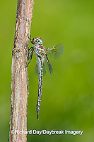 06370-001.14 Swamp Darner (Epiaeschna heros) male perched on branch, Clay Co.  IL