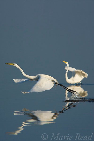 Great Egrets (Ardea alba), one takes flight after a dispute with another, Bolsa Chica Ecological Reserve, California, USA