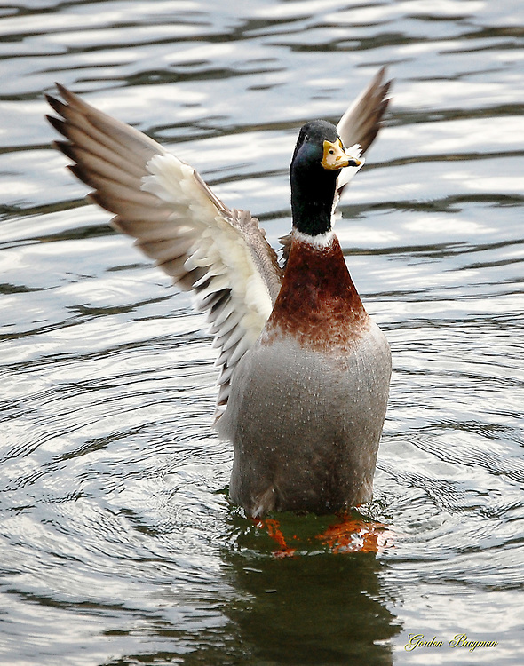 A Mallard Duck rises from the waters of the Little Pigeon River. Smoky Mountain photos by Gordon and Jan Brugman.