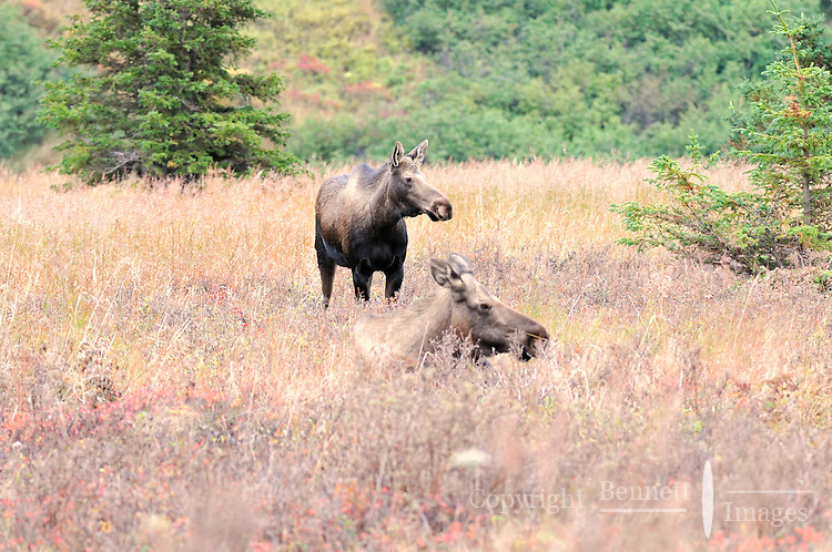 Two female moose in a fall field in Alaska's Chugach State Park.