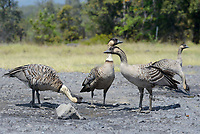 Family group of Nene or Hawaiian Goose (Branta sandvicensis). The Nene evolved from the Canada Goose, which likely migrated to the Hawaiian islands 500,000 years ago, shortly after the island of Hawaiʻi was formed. It is the world's rarest goose. Hawaii. April.