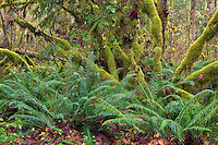 ORCAN_D226 - USA, Oregon, Cascade Range, Wildwood Recreation Site, Late autumn forest with conifers, sword fern and lush moss clinging to vine maple.