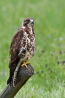 Swainson's Hawk perched on an old fence post