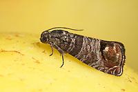 Apfelwickler, Cydia pomonella, Carpocapsa pomonella, Laspeyresia pomonella, codling moth, Le carpocapse des pommes et des poires, Wickler, Tortricidae, tortrix moths
