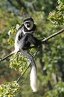 Germany, DEU, Muenster, 2004-Sep-08: A guereza (colobus guereza) looking out from a tree in the Muenster zoo.