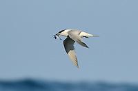 Sandwich Tern - Sterna sandvichensis