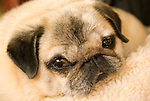 Pug dog face detail