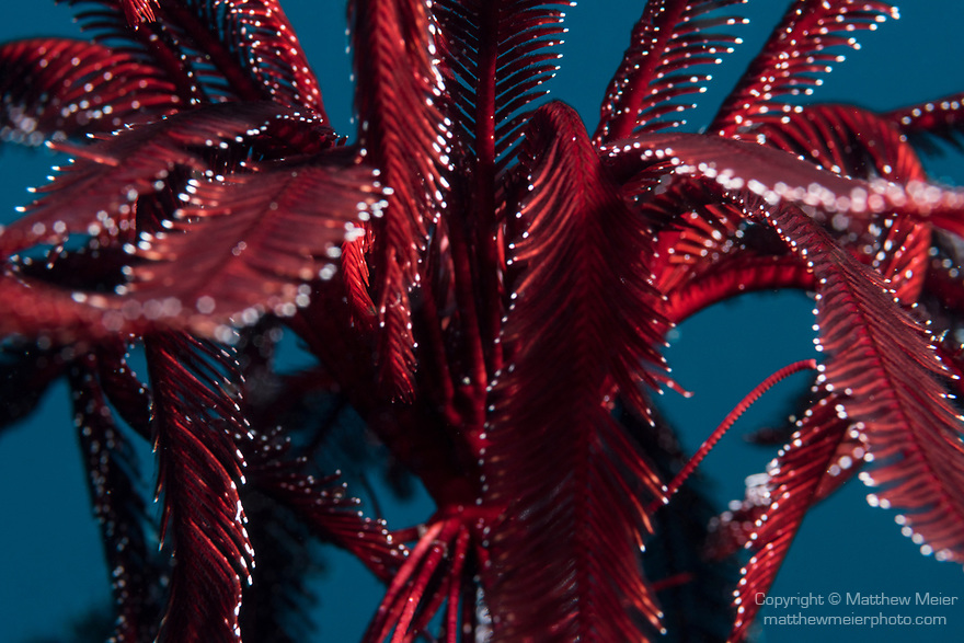 Puerto Galera, Oriental Mindoro, Philippines; a red and white feather star free swimming in the water column