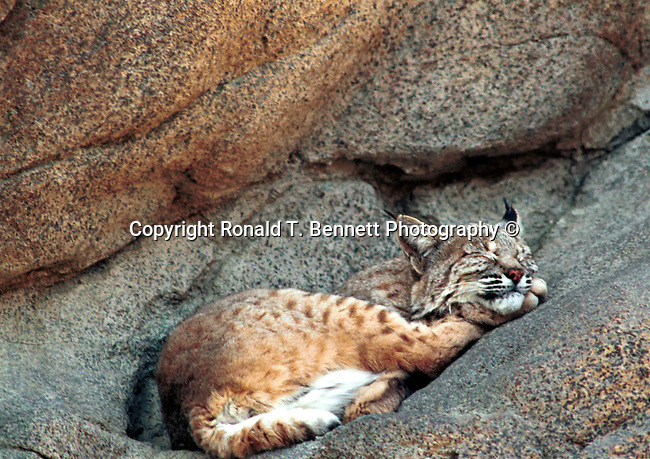 Bobcat sleeps, sleep, hunter-gatherers, Bobcat sleep, Bobcat, Lynx, felidae, predator, whiskered face, black tufted ears, brown coat, animal, Bennett, wild animals, Bobcat sleeps, sleep, Bobcat, felidae, lynx, Animal, wild animals, Fine Art Photography by Ron Bennett, Fine Art, Fine Art photography, Art Photography, Copyright RonBennettPhotography.com ©