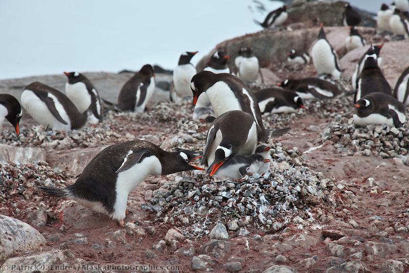 Gentoo penguin colony, Peterman Island, western Antarctic Peninsula.