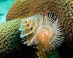 """Diving Bonaire, Netherland Antilles -- A delicate christmastree worm filters the water swirling past the coral head where it has attached.  (""""Witch's Hut"""" dive site -- also known as """"Weber's Joy"""")."""