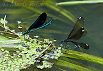 Ebony Jewelwing (Calopteryx maculata), aka Black-winged Damselfly, male (left) and egg-laying female (right), New York, USA