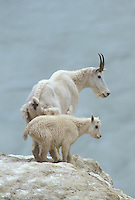 Mountain Goat with kid, Jasper National Park, Alberta, Canada