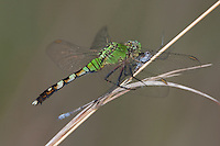 Eastern Pondhawk (Erythemis simplicicollis) Dragonfly - Female eating damselfly prey, Lake Kissimmee State Park, Lake Wales, Polk County, Florida